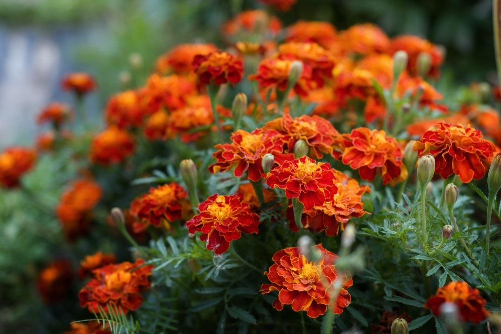 Krasiće vam baštu do novembra: Cvet kom ne treba specijalna nega, dobro ga je saditi uz krompir