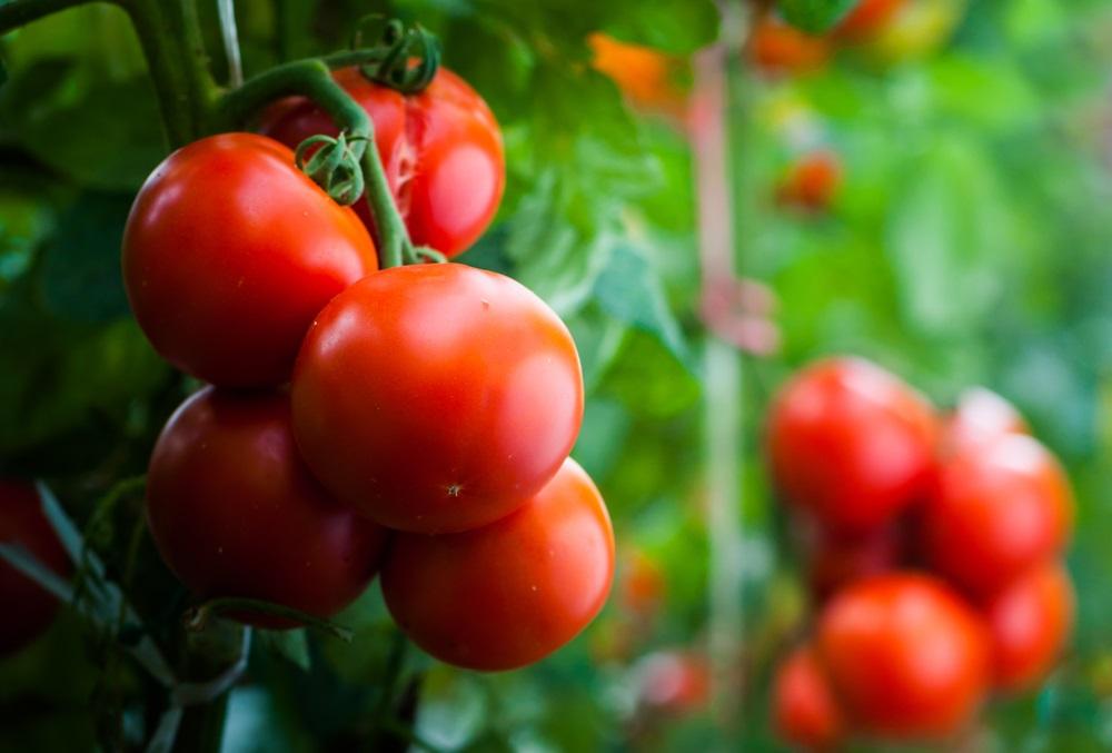 Ako hoćete bogat i sočan plod paradajza ove godine pratite ove savete i ne brinite
