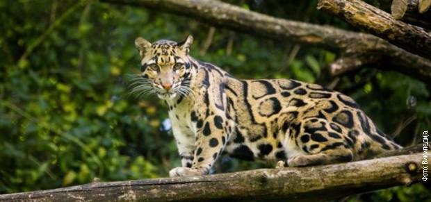 Pojavio se tajvanski leopard za koga se 30 godina mislilo da je izumro