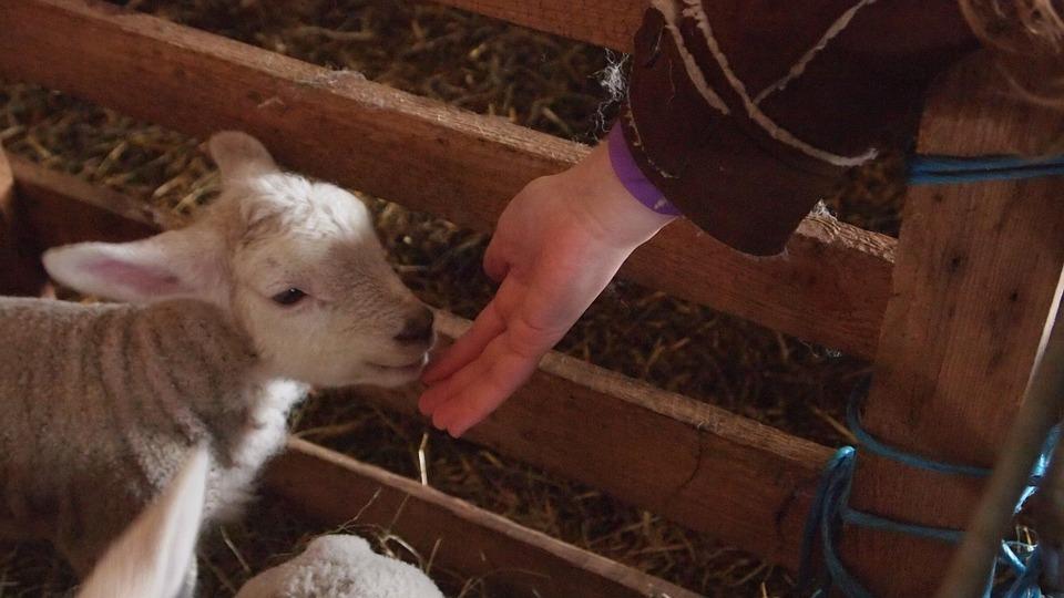 Isti slučaj u dva domaćinstva: Ovce ojagnjile jagnjad sa šest nogu