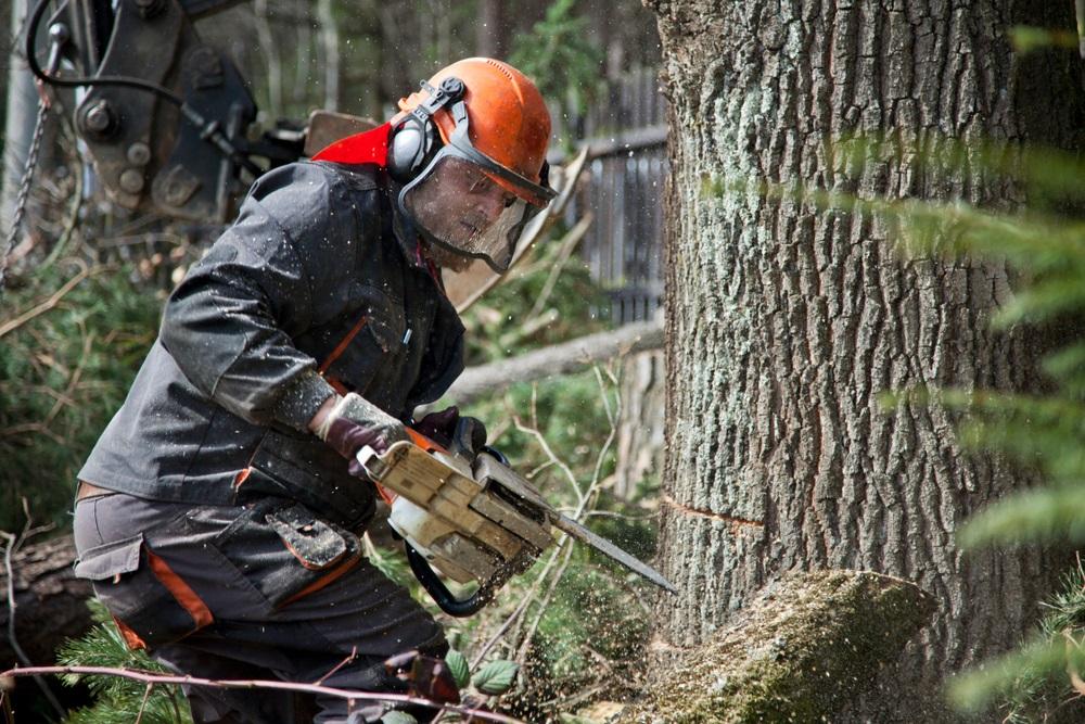 Drvoseče presekle stari hrast, a onda su otkrili tajnu staru skoro 60 godina koja se u njemu krila (FOTO)