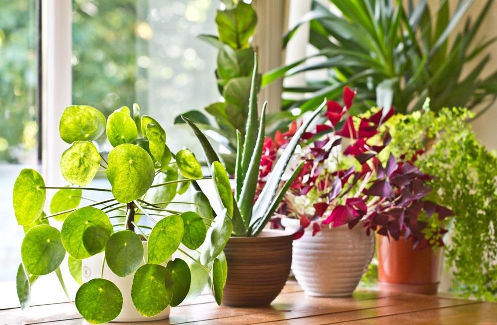 Obavezno je gajite u svom domu: Otporna biljka za koju se veruje da privlači energiju bogatstva i blagostanja
