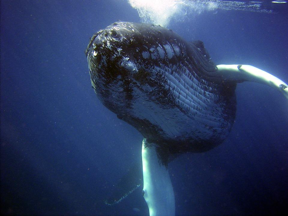 Brutalna smrt: U utrobi kita nađeno četrdeset kilograma plastike