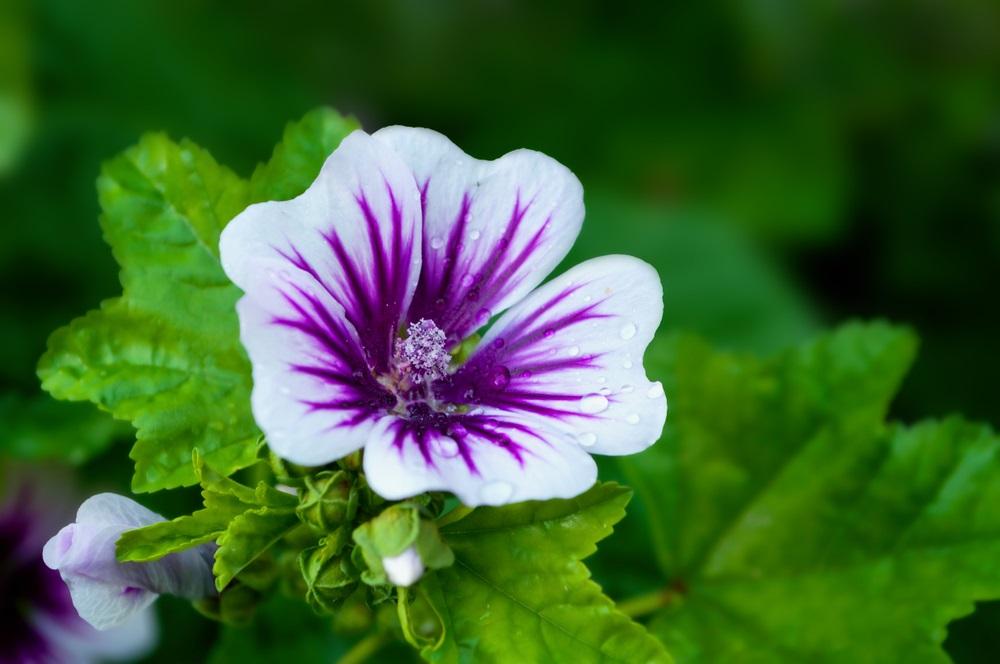Lekovita biljka pomaće pri mršavljenju, leči upalu pluća i odlična kao kupka