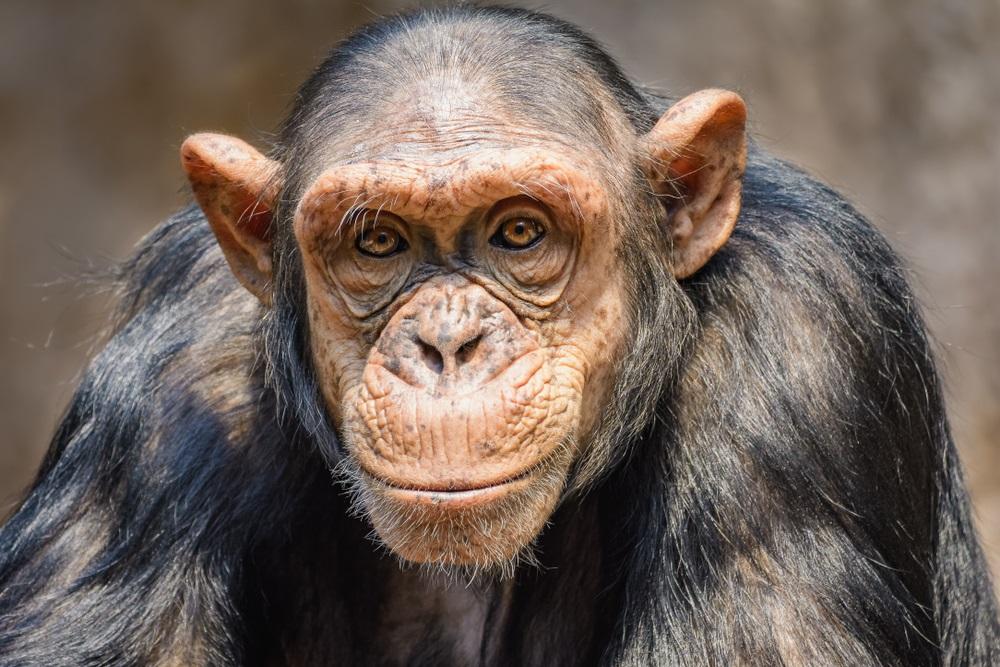 Prvi put šimpanze viđene da jedu kornjače